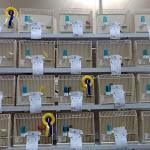 Canarini e pappagalli, oltre 1.700 volatili per la prima volta in mostra a Riva del Garda - il Dolomiti