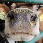 Carry-over di residui di farmaci veterinari in alimenti: FAO/OMS al lavoro per raccomandazioni sulla gestione del rischio - Ruminantia