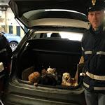 Commercio illegale di cani, sequestrati cuccioli disidratati e in stato di ipotermia - ForlìToday