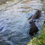 Ester e Alba, le tapire temerarie fanno un bagno ghiacciato - Il Sole 24 ORE